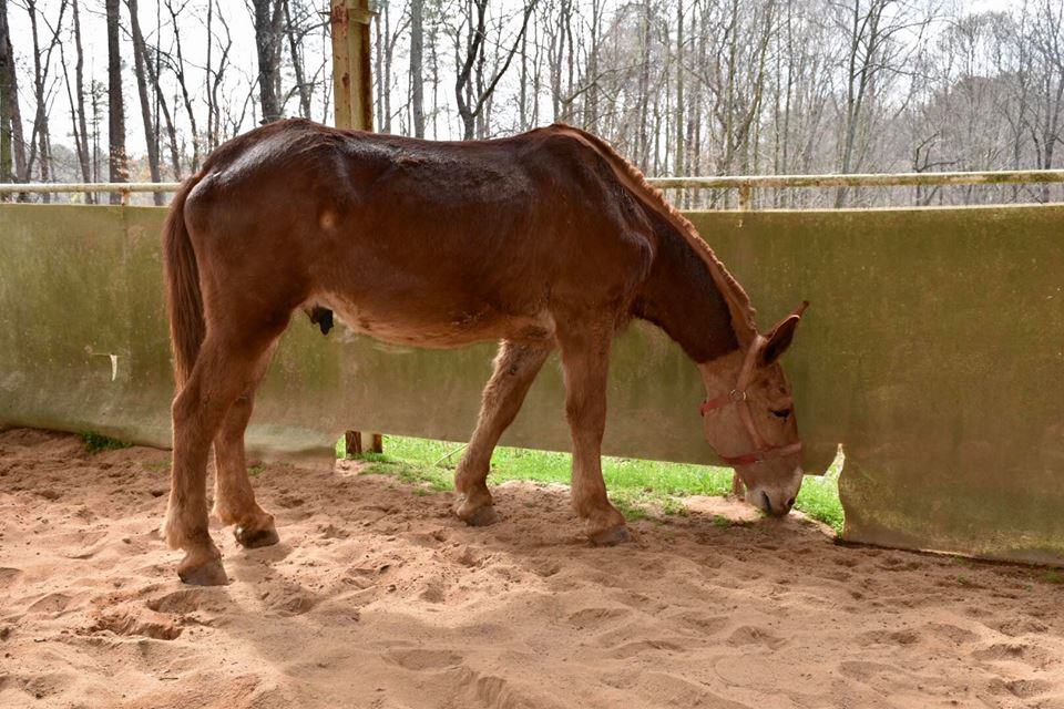 Save the Horses - Draft Mules - Save the Horses Horse Rescue-Human